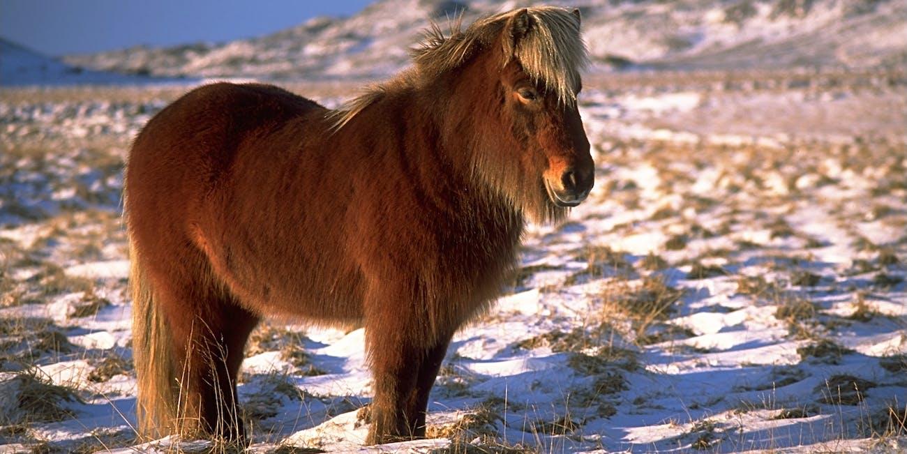 IcelandicHorseInWinter