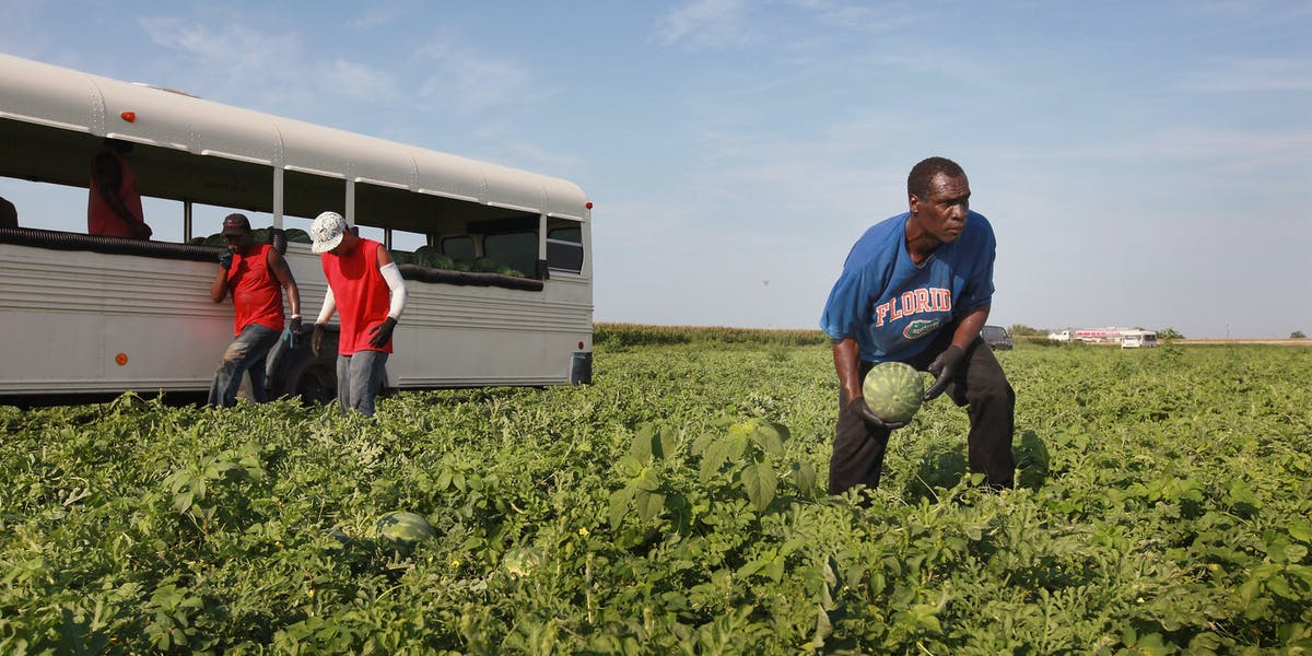 Migrant workers harvest watermelon from an irrigated farm field near Vincennes, Indiana.
