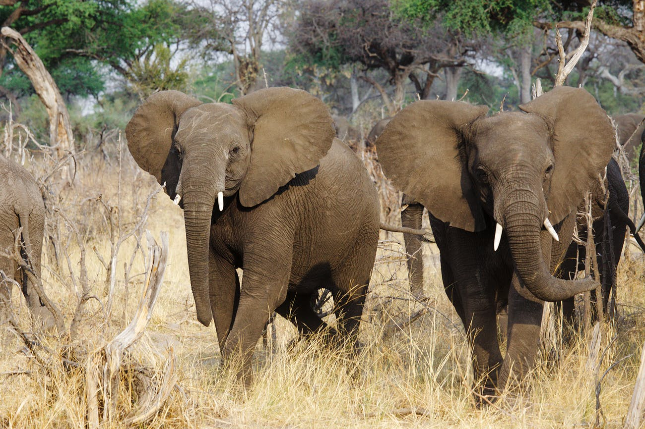 Elephants on the way to the watering place