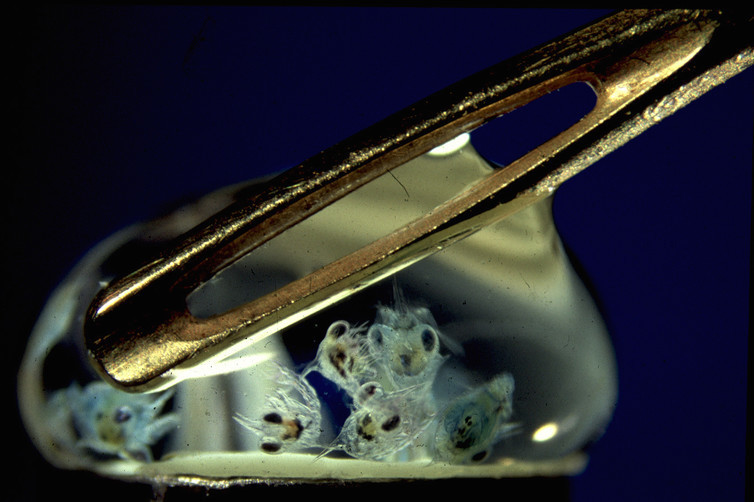 Seven crab larvae in a drop of water.