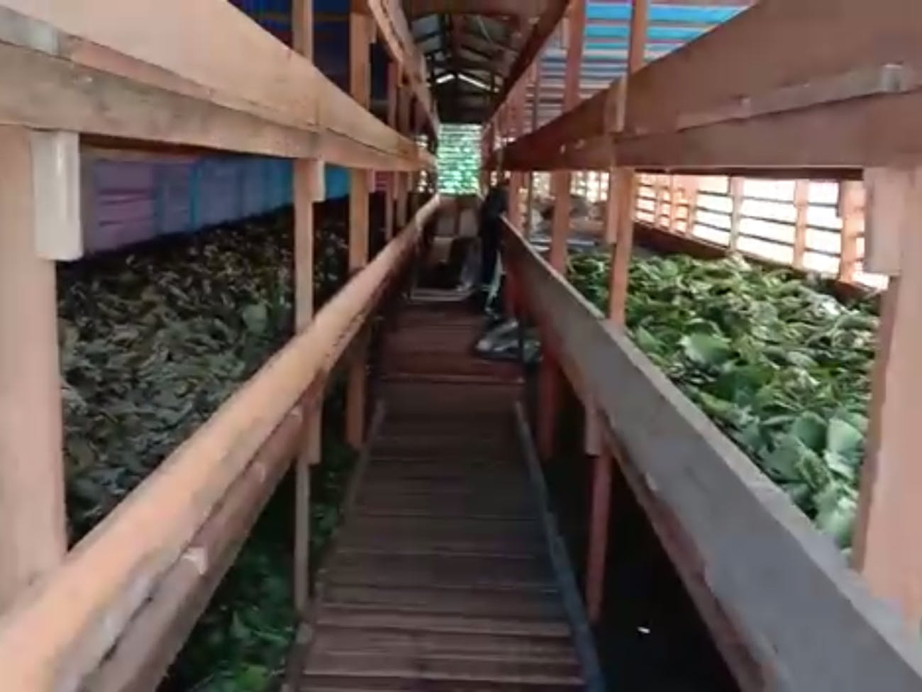 Kratom leaves drying in an Indonesian production facility.