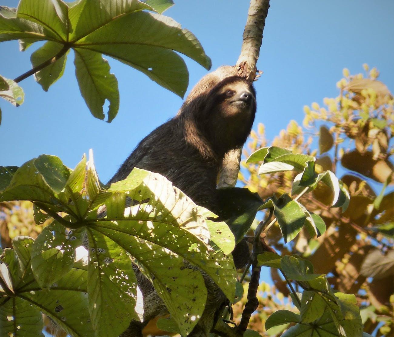 cecropia trees sloth