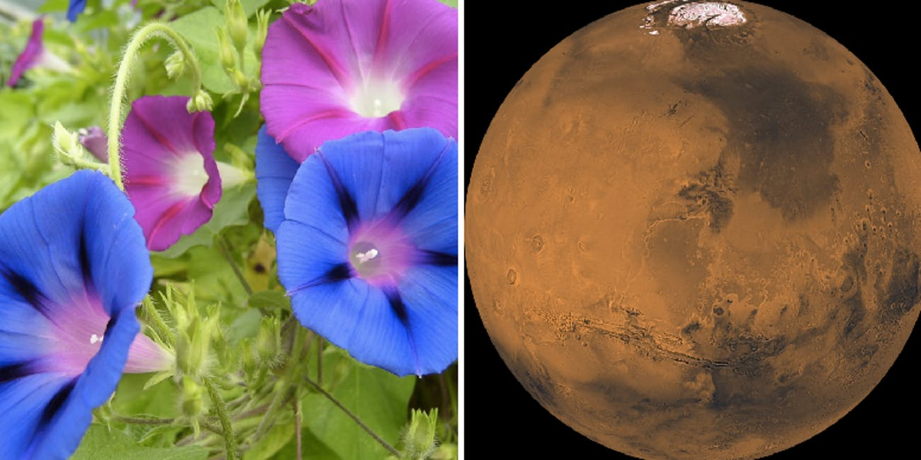 Morning Glory may be one of the first crops on Mars.