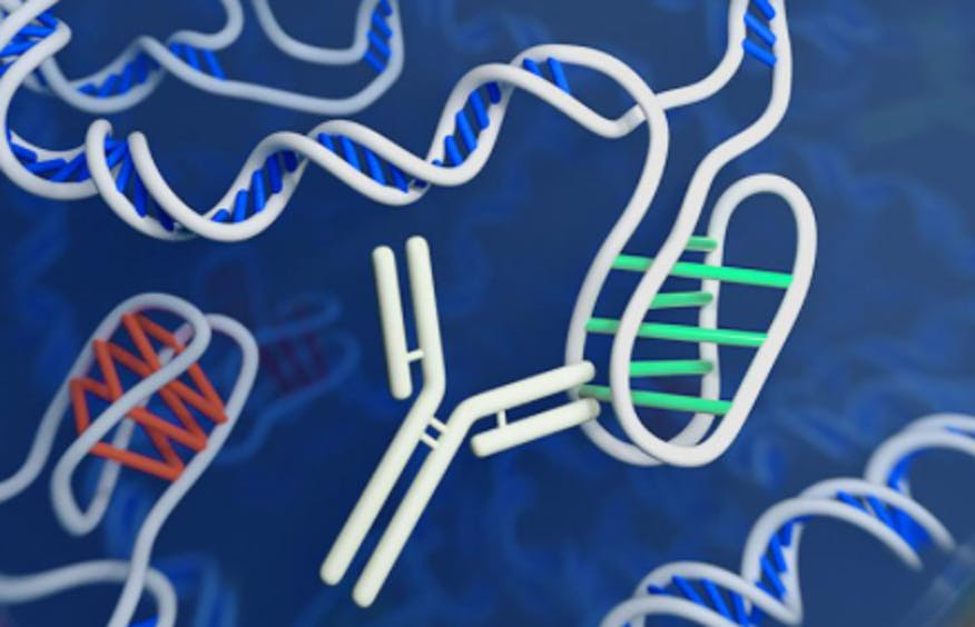 DNA Twisted Into a Never-Before-Seen Shape in a Living Cell A-rendering-of-i-motif-with-the-white-antibody-attached