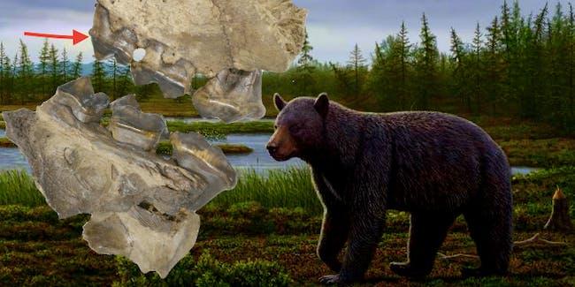 This old big bear loved berries.