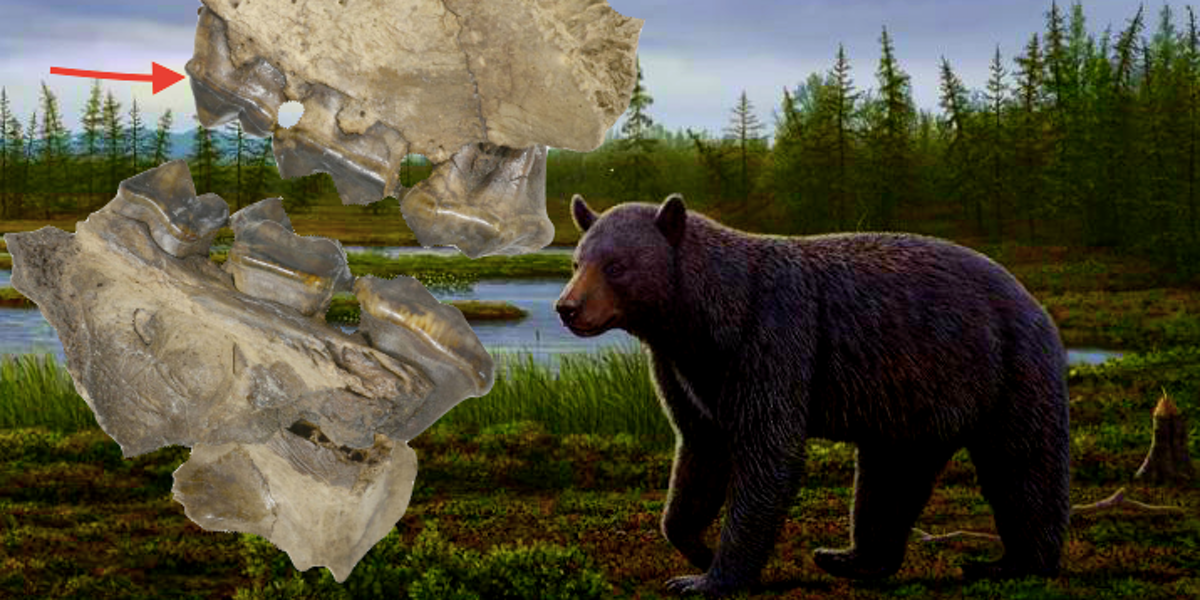 This Fat 3.5-Million-Year Old Bear Was a Dentist's Nightmare