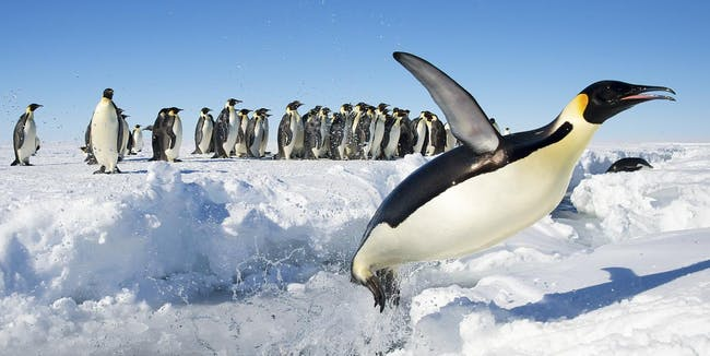 Emperor Penguins of Gould Bay