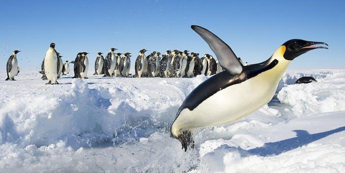 Emperor Penguins of Gould Bay