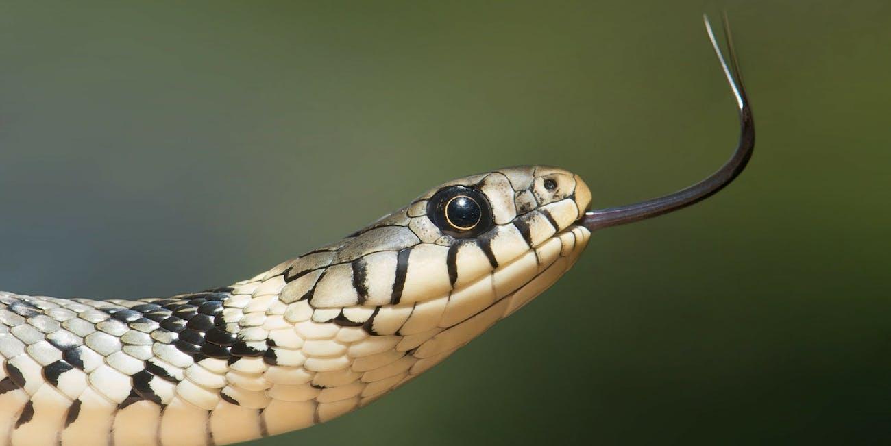 snake tongue flicking