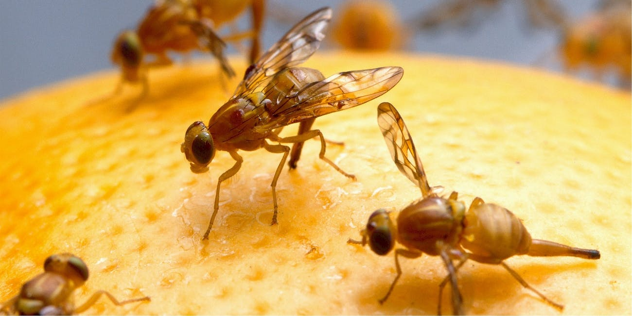 Fruit Fly Infestation: How to Keep Pesky Insects Away From