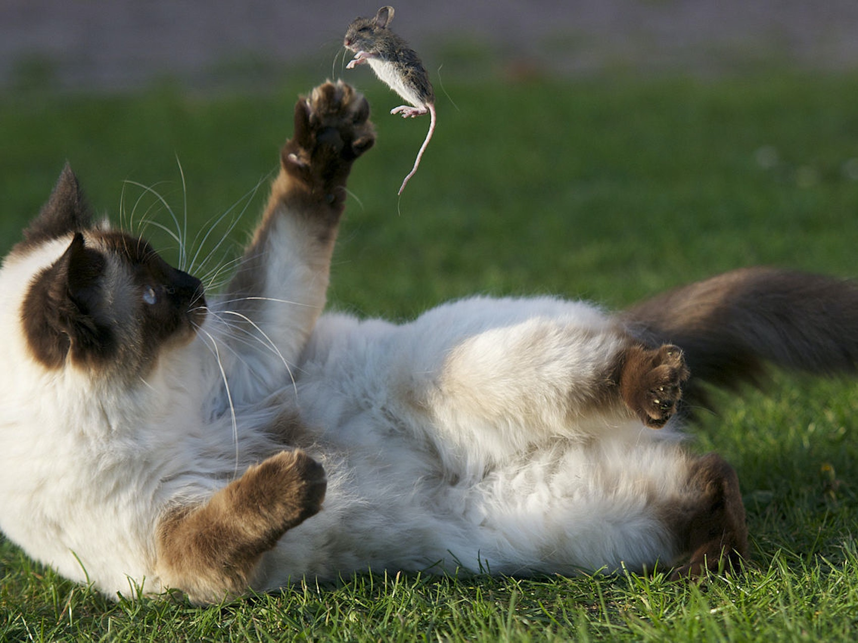 A cat that is playing with a caught mouse. Cats play with their prey to weaken or exhaust them before making a kill.