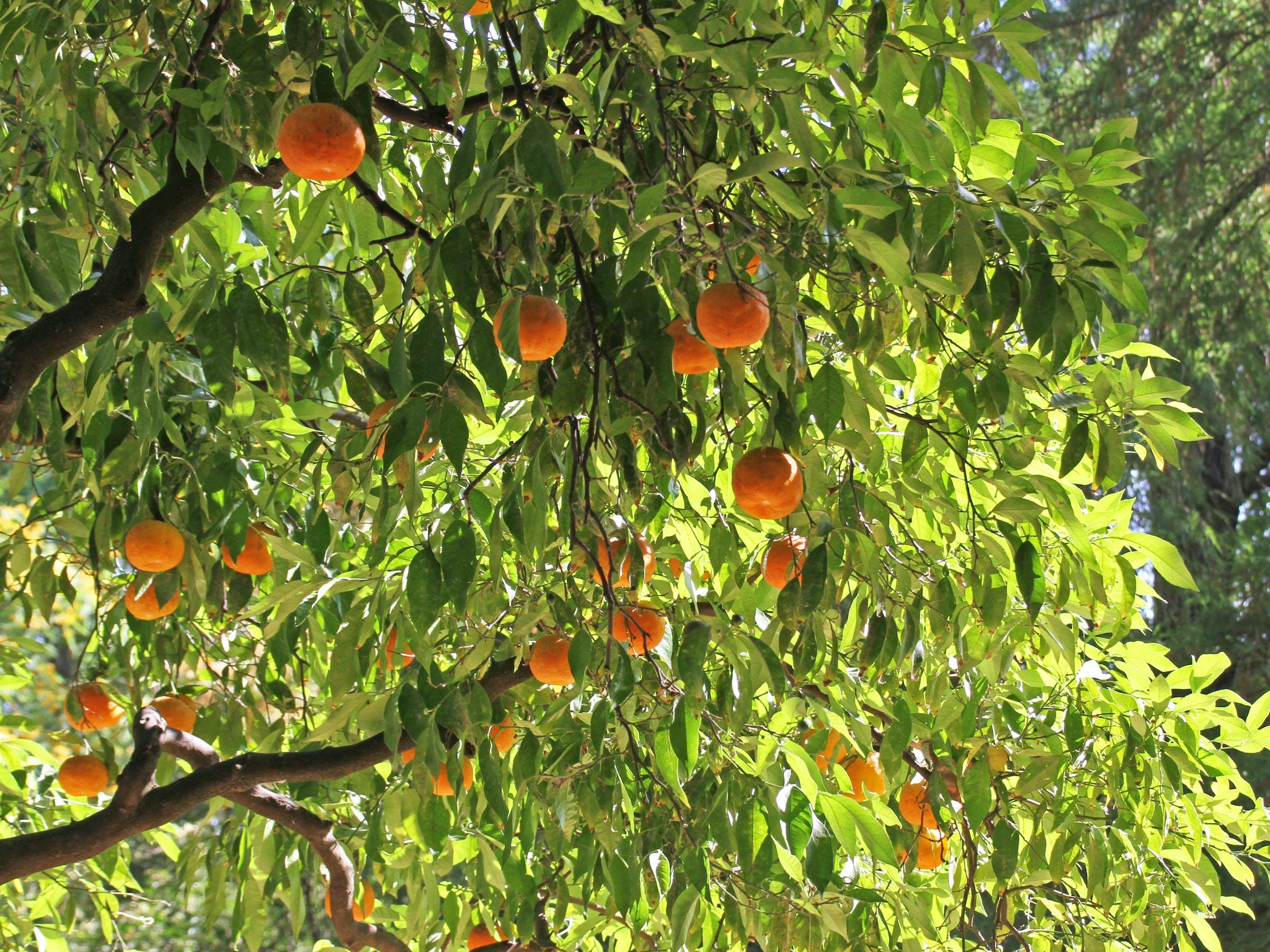 Seville Bitter Oranges