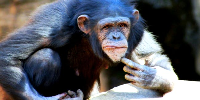 Chimps have personalities, like neuroticism.