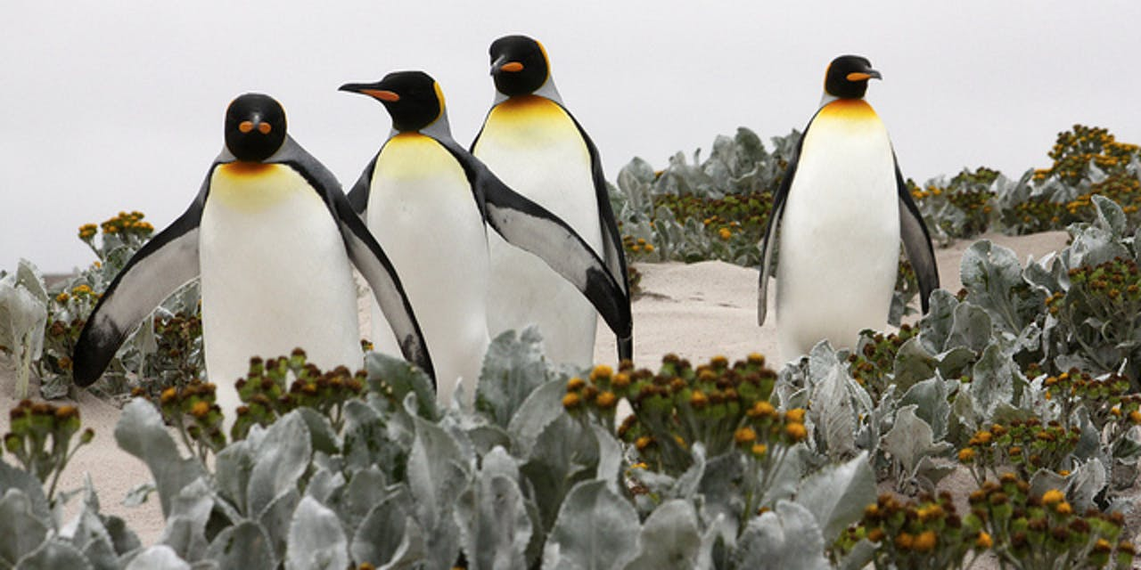 King penguins, climate change