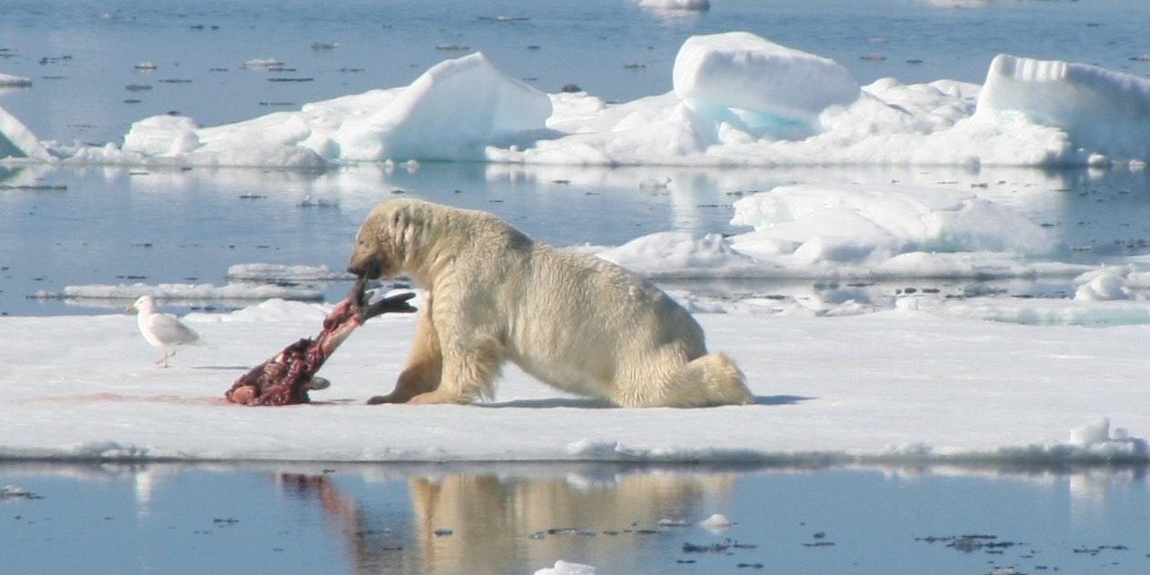 baby polar bear on ice