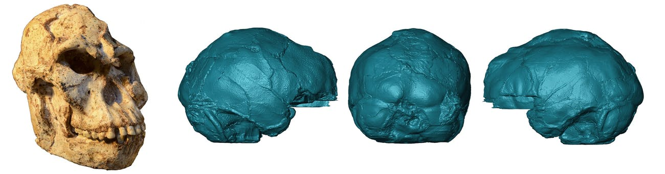 """Little Foot's"" skull and a 3-D rendering of the endocast."