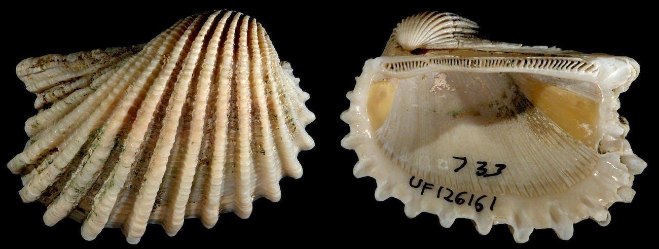 Anadara aequalitas, a species of bivalve