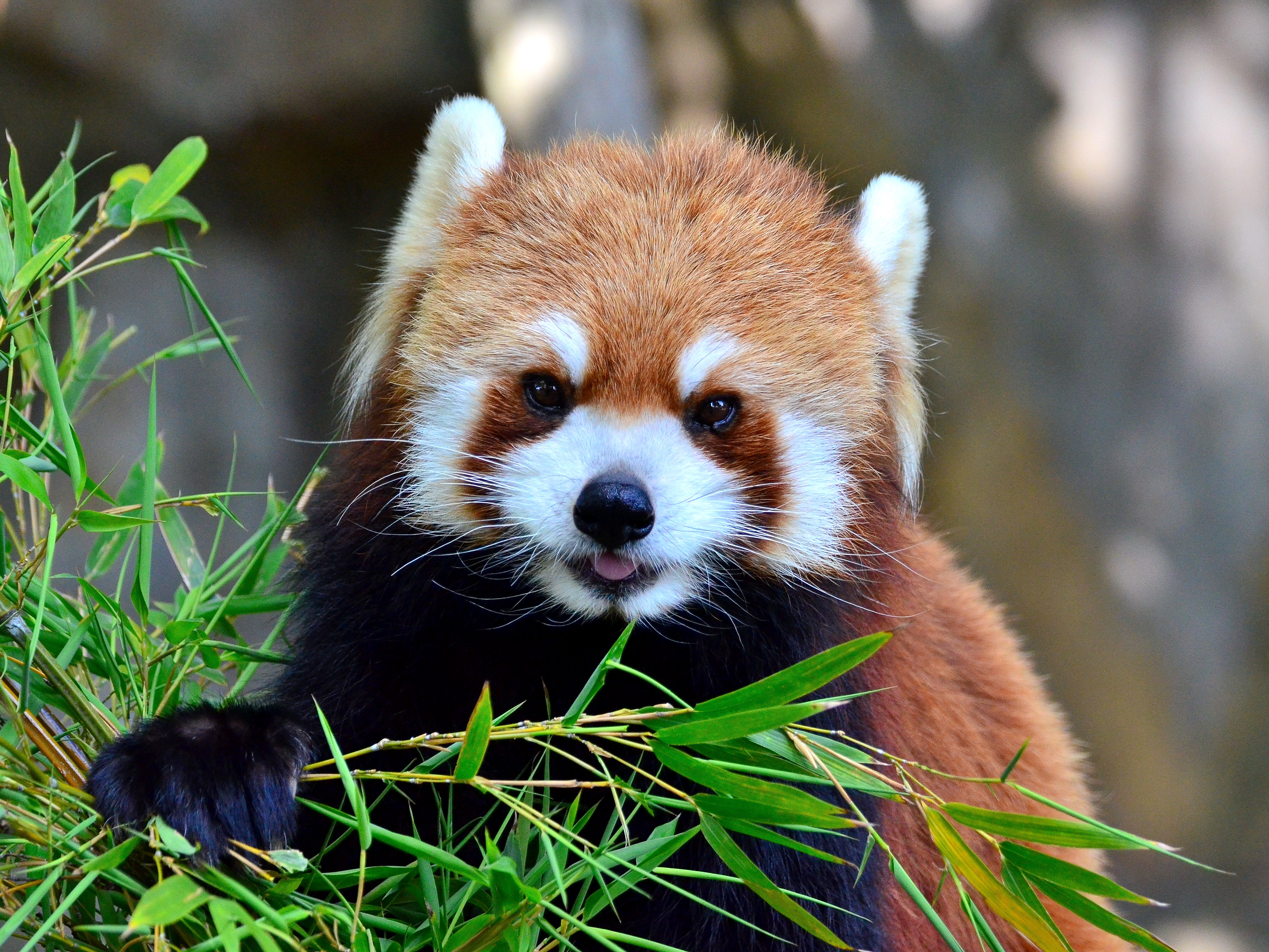 Cutest Red Panda In The World