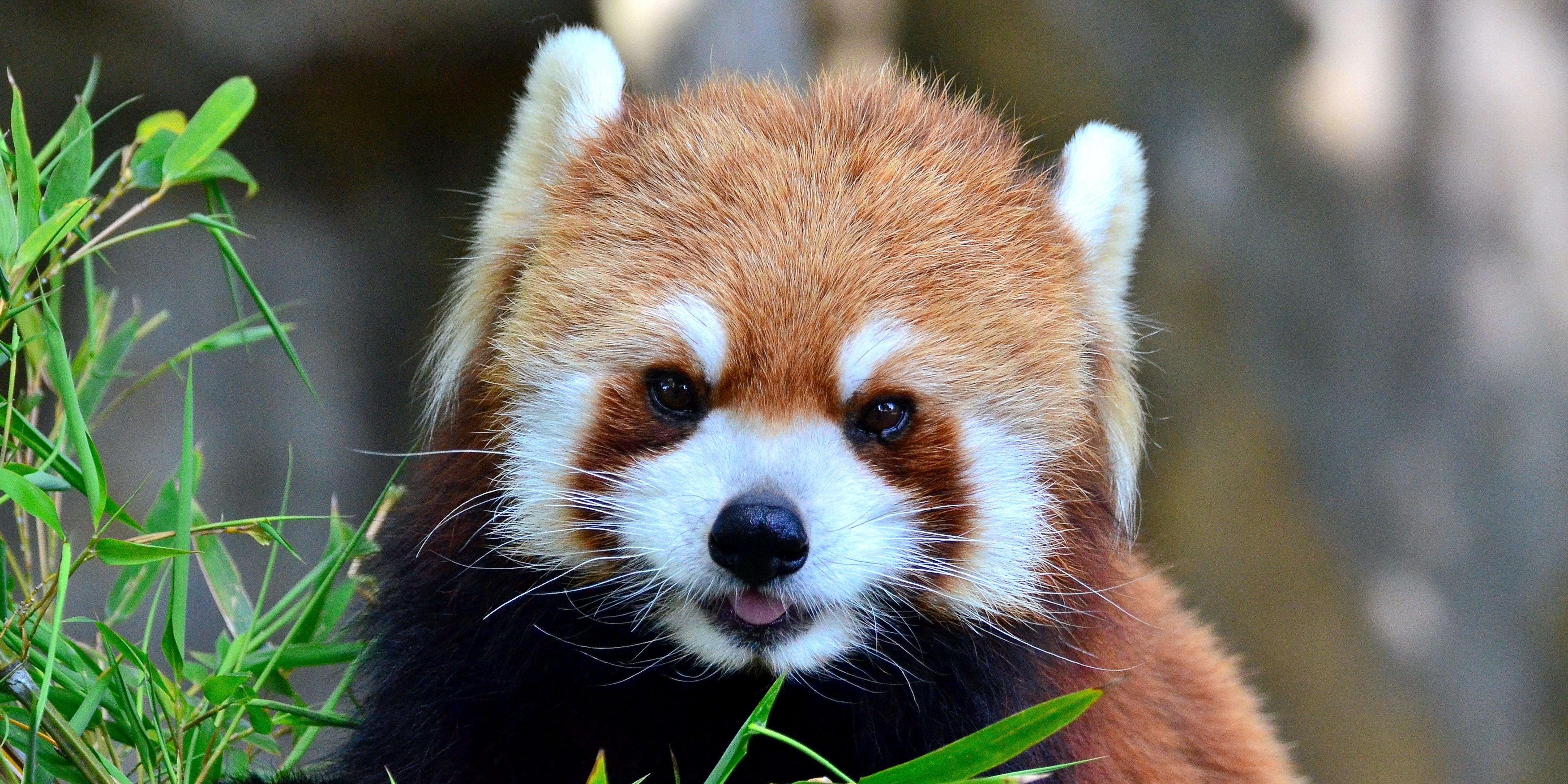 Panda bite - photo#36