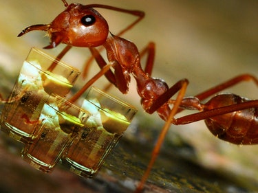 The Drunk Chemistry of Gin Flavored With Pissed-Off Ants