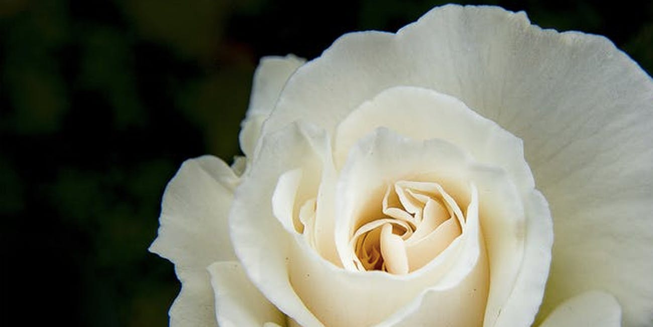 Grammy Awards Why A White Rose Means Celebrities Taking Action