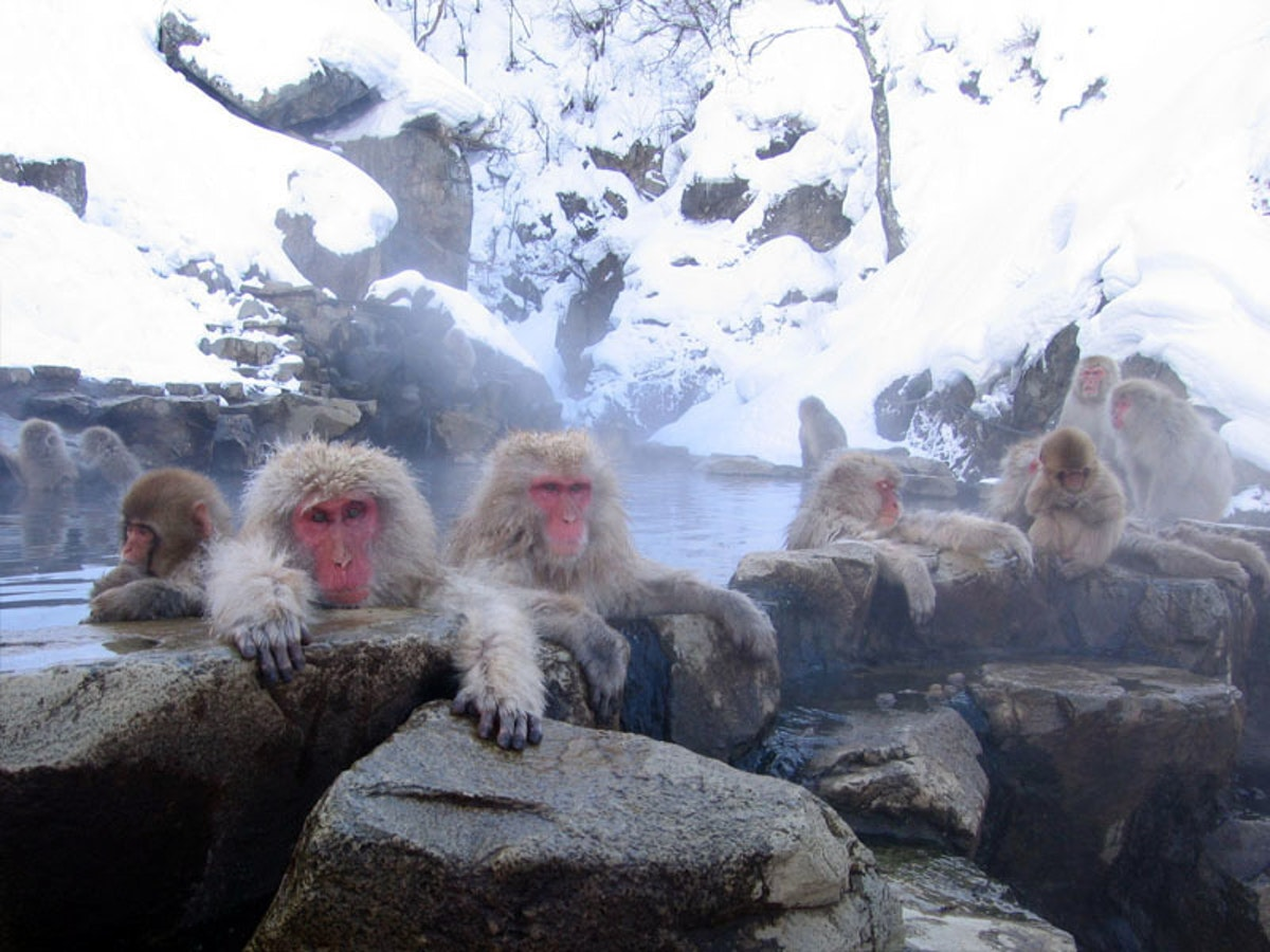 These Japanese macaques are way chiller.