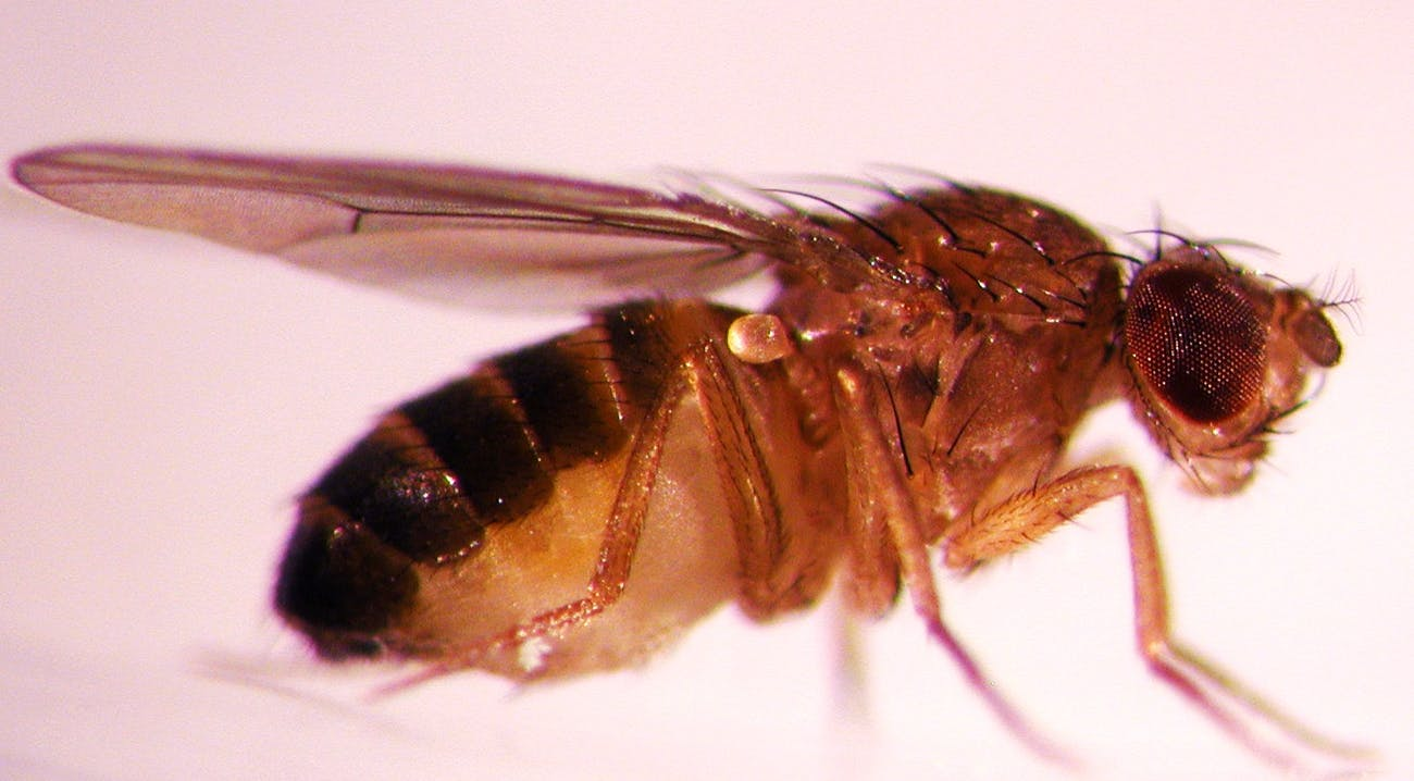 This fruit fly is used by researchers at Oregon State University for studies of the genes that control the biological clock in many animals, including humans. (Photo courtesy of Oregon State University)