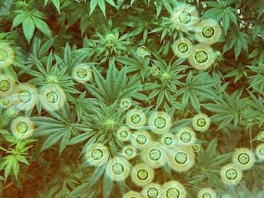 Stealthy Bacteria and Fungi Lurk in Medical Marijuana