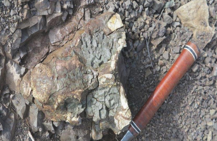 A holotype of Bulbasaurus phylloxyron.