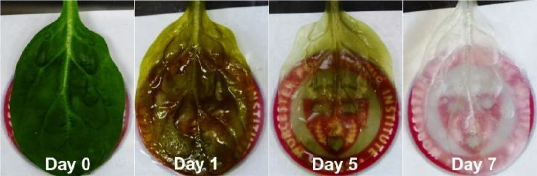 The process of decellularization eats away at the spinach leaf's cells and leaves behind its cellulose structure.