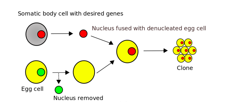 In somatic cell nuclear transfer, all the DNA comes from a single adult cell.