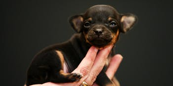 chihuahua, tiny puppy, dog, cute, smallest dogs, small puppies, smol, puppo, doggo, chi puppy, chihuahua puppy