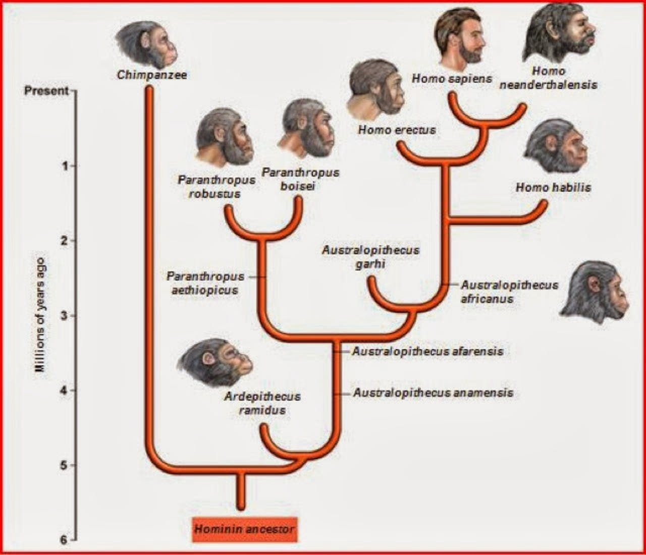 timeline human evolution homo hominin erectus habilis sapiens neandarthalensis neandarthal