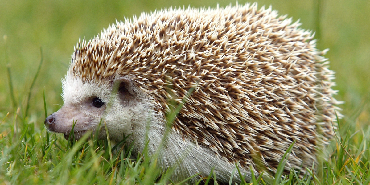hedgehog spines hold  secret  preventing concussions inverse