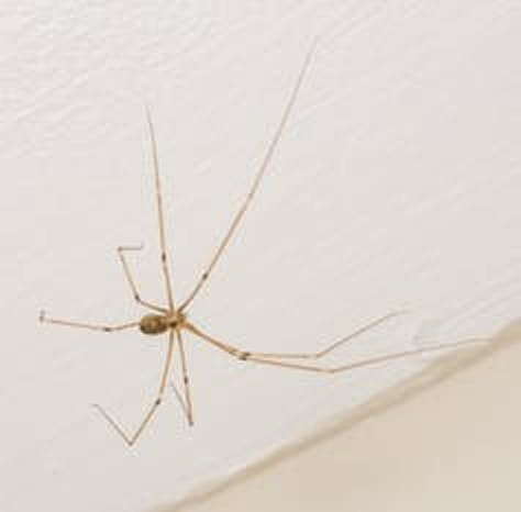 A cellar spider, sometimes called daddy longlegs (not to be confused with a harvestman).