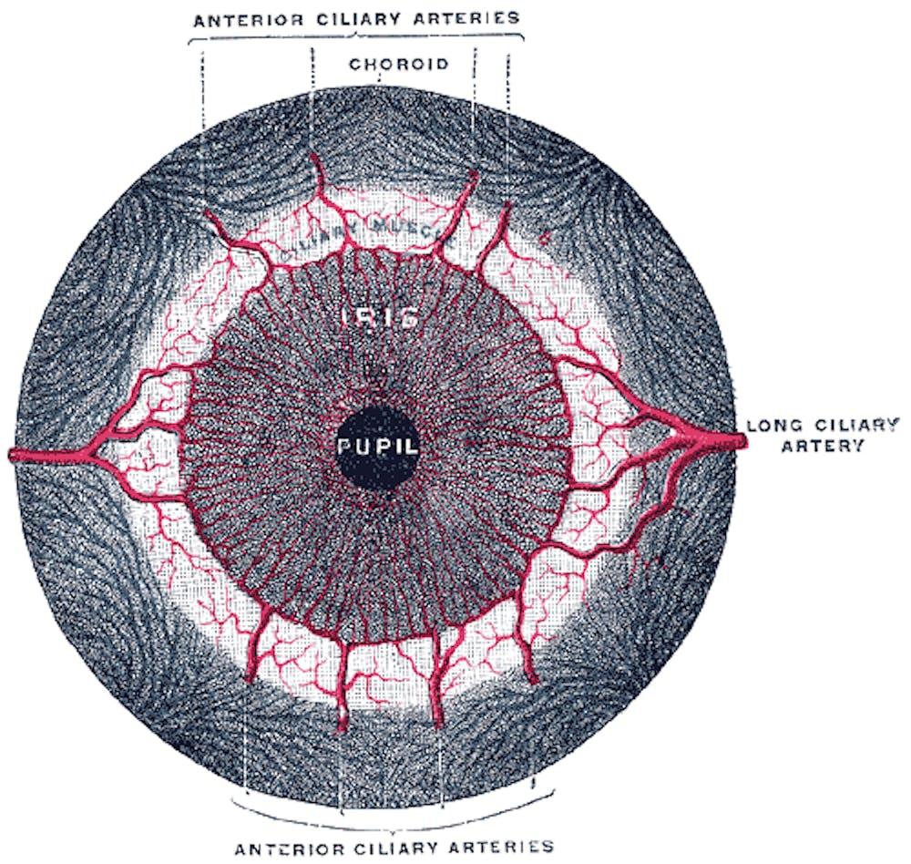 boxing anatomy iris dilator