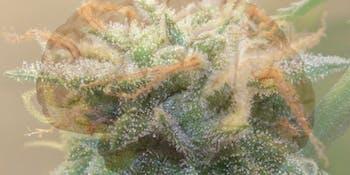 brain marijuana