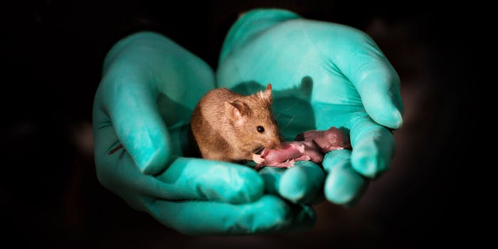 A healthy adult bimaternal mouse with her offspring.
