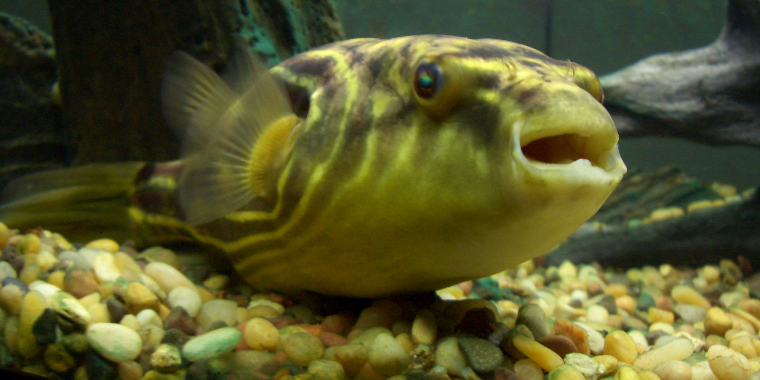 Viral Nightmare-Eating Pufferfish Is Just Doing What It Does Best: Killing