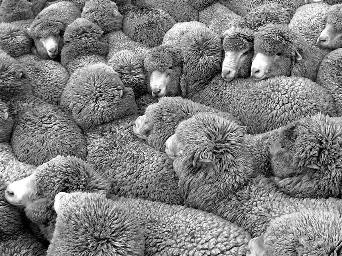 Merino sheep.NZ