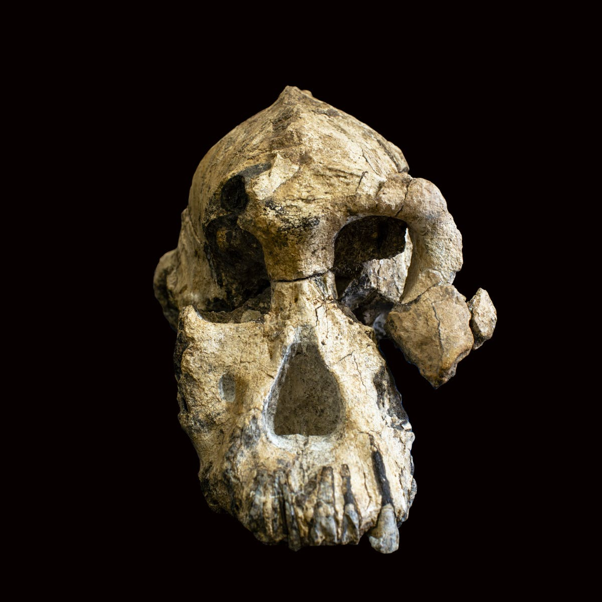 Newly Identified Australopithecus Skull Belongs to the Ancestor of Lucy