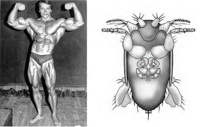 Arnold Schwarzenegger and the fly named after him