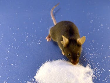 Genetically Engineered Mice DGAF About Cocaine