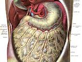 Omentum stomach abdomen body fat