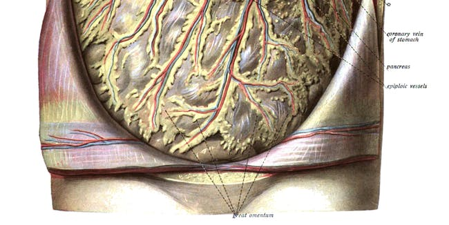 Omentum stomach abdomen body fat