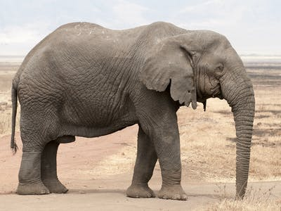 Elephants Are Becoming Tuskless to Evade Poachers