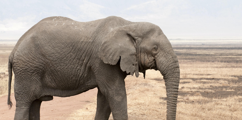 Old bull elephant in the Ngorongoro crater