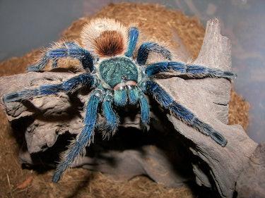 Punk Rock Tarantulas' Brilliant Blue Hair Stumps Scientists