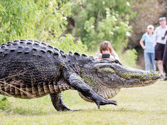 The Internet is Freaking Out Over Florida's Latest Mega-Gator