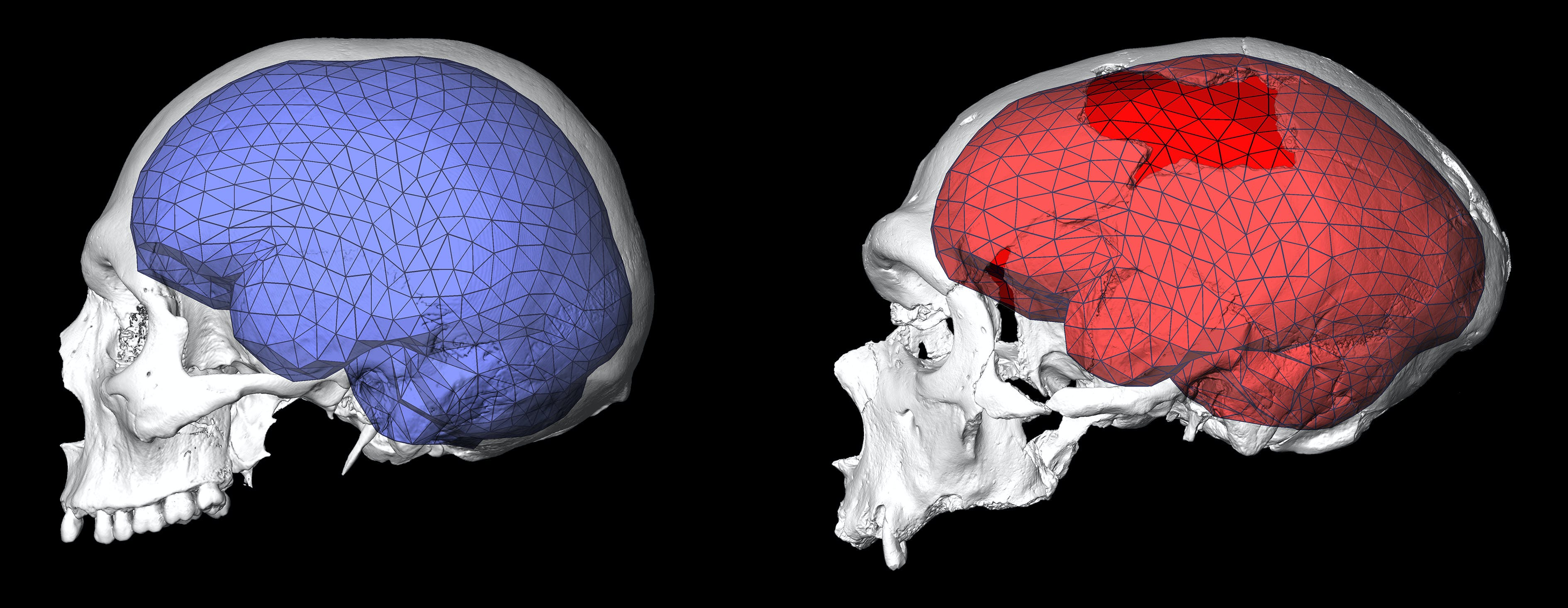 brain shape evolution coincided with the birth of modern